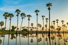 Silhouette of palmyra palm trees and their reflections royalty free stock photos