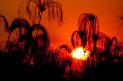 Silhouette of Papyrus at Sunset Stock Image
