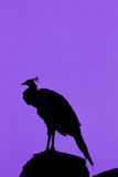 Silhouette Peacock Stock Image