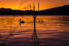 Silhouette of a pelican swimming at sunset Royalty Free Stock Image