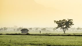 Silhouette of  people walking in the middle of vast rice field. They are farmers who started to work. This picture was taken at sunrise. On the right and left Royalty Free Stock Image