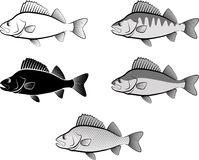 Perch. Silhouette of perch fish and line art Royalty Free Stock Image