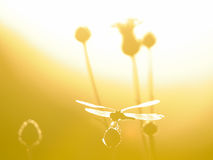 Silhouette of perching dragonfly at contrast lightening Stock Photos