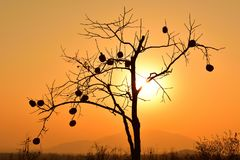 The silhouette of a persimmon tree under the golden sunset Stock Image