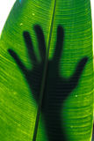 The silhouette of a person`s hand on a large waxy leaf as the su. Stand up and speak out for the protection of our environment Royalty Free Stock Photos