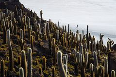 Silhouette of a person in a salt flat with cactuses in the foreground. Landscape photo of an island of cactuess surrounded by the desert with a silhouette of a Royalty Free Stock Photography