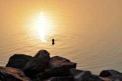 Silhouette of a person swimming in the water. At sunset in a lake Royalty Free Stock Image