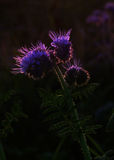 Silhouette of phacelia flower. Back lighted Stock Photography