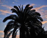 Silhouette of phoenix canariensis at dawn Stock Photos