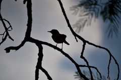 Silhouette photo of bird on branch. Silhouette photo of bird on tree branch Royalty Free Stock Photos