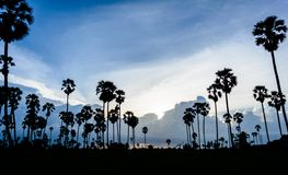 Silhouette picture of Sugar palm at sunset Royalty Free Stock Image