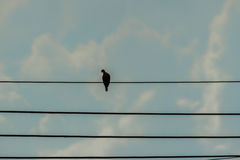 Silhouette pigeon perching on the electric cable in blue sky bac Stock Photos
