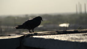 Silhouette of a pigeon sitting on roof.  stock video footage