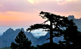 Silhouette of a pine at dusk Stock Images