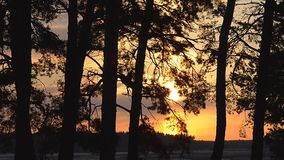 Silhouette of pine forest at sunset, pine branches in the sun, winter forest night. Silhouette of pine forest at sunset, pine branches in sun, winter forest stock video footage