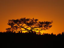 Silhouette of pine tree Stock Image