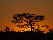 Silhouette of pine tree Royalty Free Stock Image