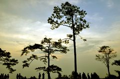Silhouette pine tree Stock Photography