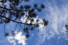 Silhouette of pine tree branches in front of beautiful and dramatic blue cloudy sky - room for copy.  stock photo