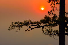 Silhouette of pine tree at sunrise Stock Image