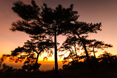 Silhouette of pine tree during sunset Stock Photo