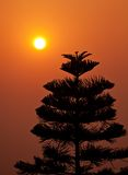 Silhouette of pine tree at sunset Royalty Free Stock Images