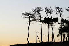Silhouette pine trees. Beautiful silhouette view of some pine trees up on a hill Royalty Free Stock Images