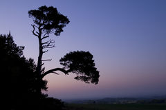 Silhouette of the pine trees Stock Photo