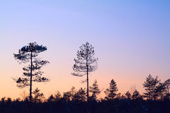 Silhouette pine wood Stock Photography