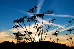 Silhouette of a plant with chemtrails in the sky Royalty Free Stock Photo