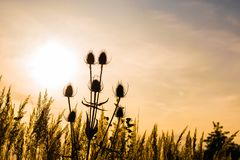 Silhouette of plant growing on a meadow royalty free stock image
