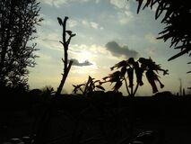 Silhouette of plants at sunset Stock Images