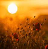 Silhouette Poppies and setting sun Stock Photos