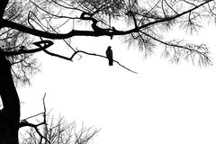 Silhouette of a raven on a coniferous tree. Royalty Free Stock Photography