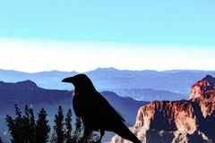 Silhouette of raven by the Grand Canyon royalty free stock image