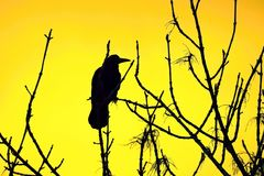 Silhouette of a raven in a tree stock photography