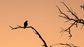 Silhouette of a raven Royalty Free Stock Images
