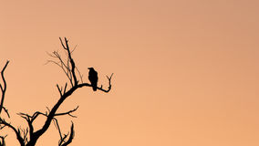 Silhouette of a raven Stock Photography