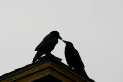 Silhouette of ravens royalty free stock photo