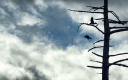 Silhouette of ravens and tree against cloudy sky. Silhouette of ravens taking flight from a snag against a moody sky Royalty Free Stock Image