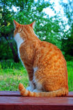 Silhouette of red cat. In summer Royalty Free Stock Photos