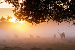 Silhouette of Red Deer Cervus elaphus stag herding females Stock Images