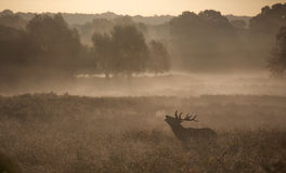 Silhouette of a red deer stag Stock Photo