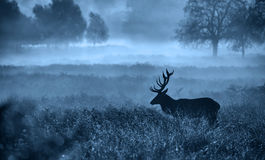 Silhouette of a red deer stag. A large red deer stag standing in the early morning mist in blue mono Royalty Free Stock Photography