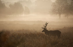 Silhouette of a red deer stag. A large red deer stag standing in the early morning mist in a natural sepia Stock Photography