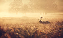 Silhouette of a red deer stag. A large red deer stag standing peacefully in the early morning mist royalty free stock photos