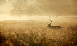 Silhouette of a red deer stag. A large red deer stag standing peacefully in the early morning mist Stock Photo