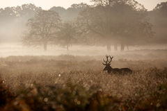 Silhouette of a red deer stag. A large red deer stag standing peacefully in the early morning mist in a natural sepia Royalty Free Stock Image
