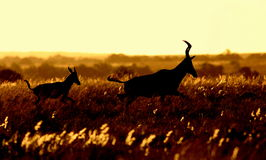Silhouette of a red hartebeest and calf Royalty Free Stock Photos