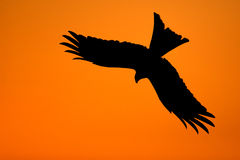 Silhouette of a red kite (Milvus milvus) Royalty Free Stock Photos